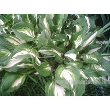 Hosta-undulata-medio-variegata