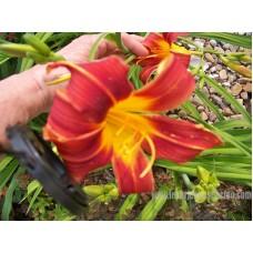 Hémérocalle Bright Dancer grande fleur rouge à centre jaune