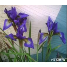 iris-Versicolor
