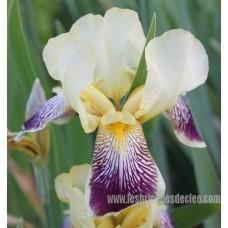 iris-Germanica-iris-de-jardin