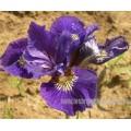 iris-sibirica-ruffled-velvet